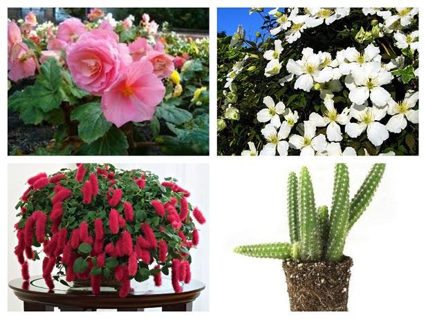 Begonia cactus chenille clematis