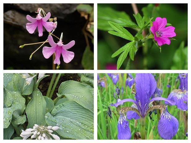 geranium hosta impatiens iris