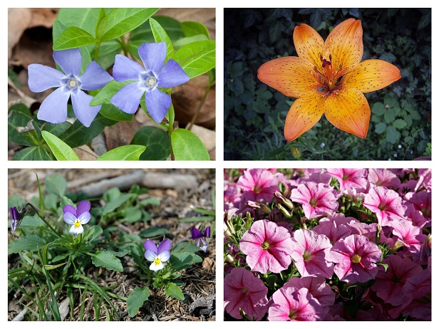 lily pansy periwinkle petunia